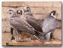 "Центр по реабилитации и мониторингу хищных птиц ""Холзан""!"