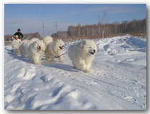 Белые лайки на южном Урале + Челябинск!